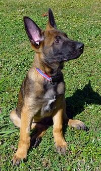Pin By Greg Bembry On K 9 Malinois Dog Malinois Shepherd Dog