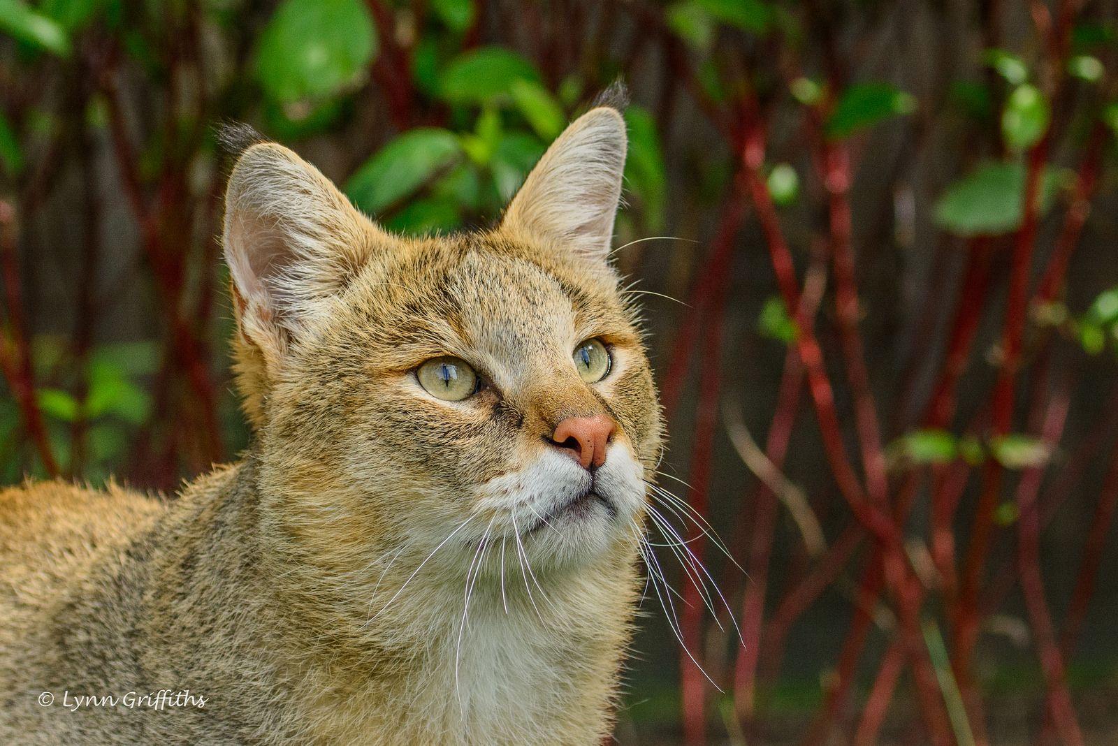 Jungle Cat (Felis Chaus) 710_0925.jpg Jungle cat, Wild