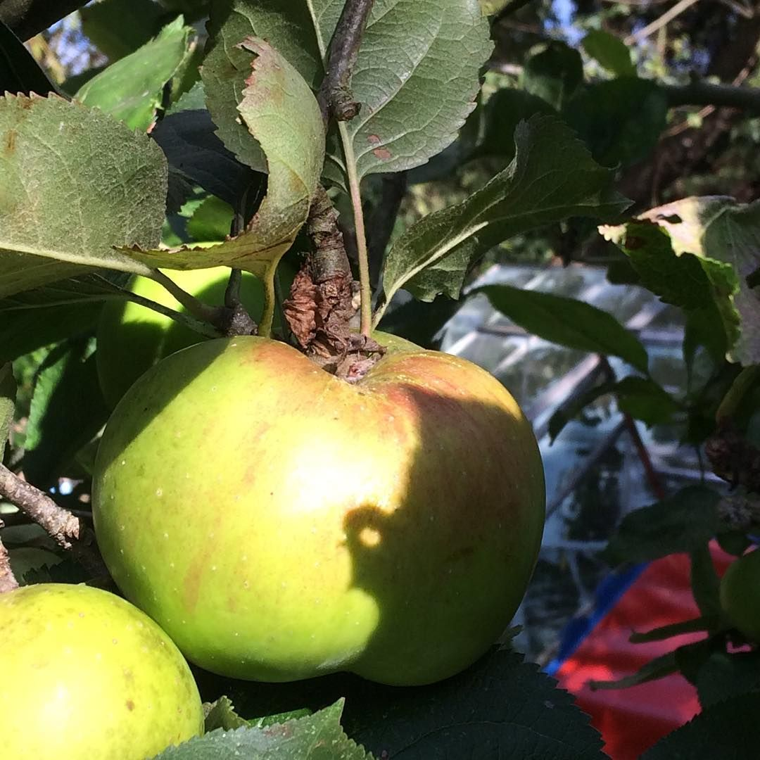 Thoughts of pies and crumbles #garden #windfalls #apples #baking #pie #applepie