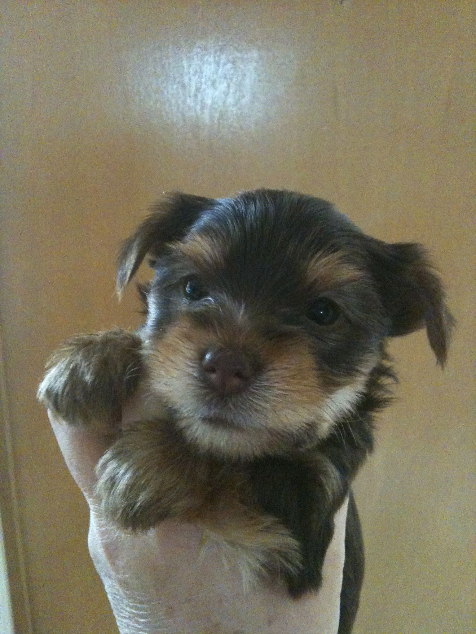 Chocolate Yorkie 5-weeks old | Paws | Pinterest | Chocolate and Yorkie