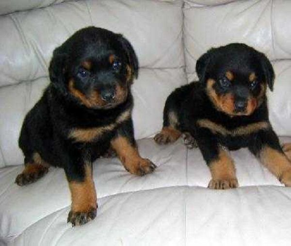pure german rottweiler puppies for sale Zoe Fans Blog