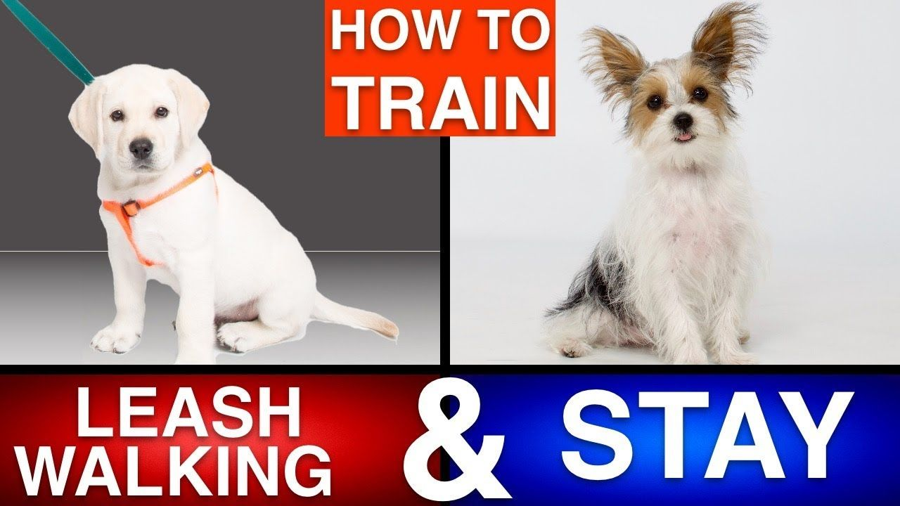 How to Train Your Puppy Leash Walking & Stay! Training
