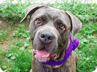 New York, NY Cane Corso. Meet EBONI, a dog for adoption