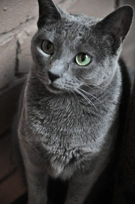 Russian Blue Cat Google Search Russianbluecat Russian Blue