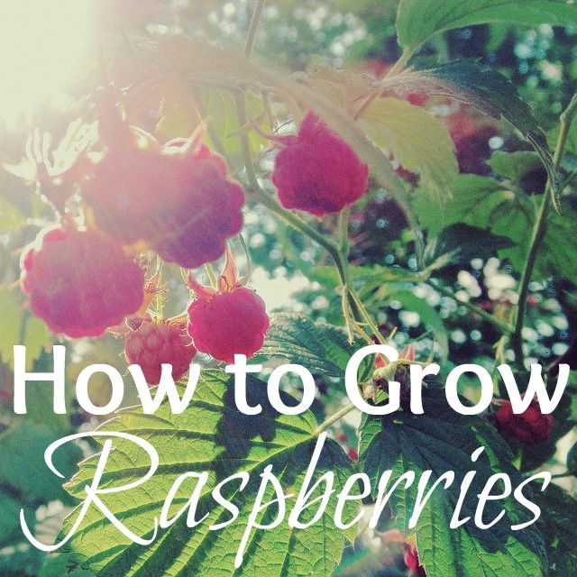 Red raspberry garden plant - How and Why grow them. @UntrainedHW