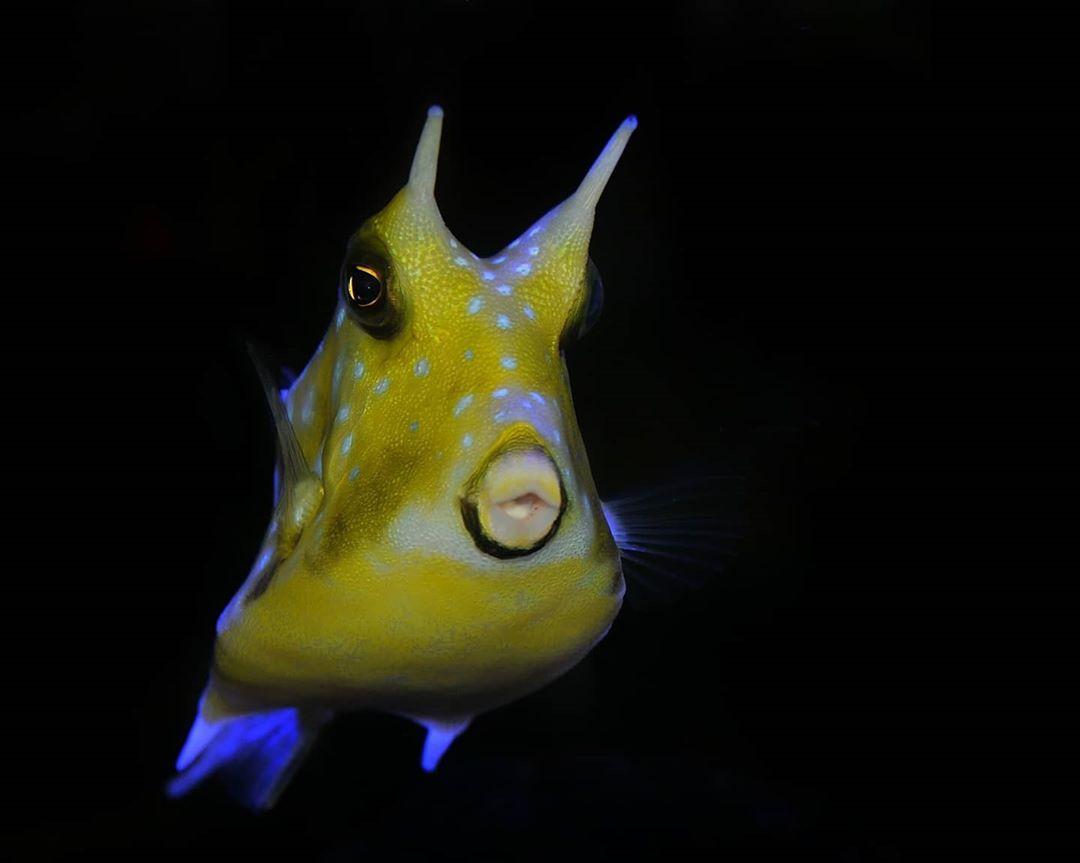 Febriansyah On Instagram Ikan Sapi Tanduk Panjang Longhorn Cowfish Juga Disebut Boxfish Bertanduk Adalah Spesies Boxfish Dari Kel Fish Pet Animals Pets