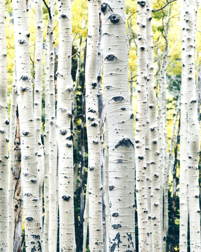 MOCKINGBIRD LESSONS Aspen trees, Birch tree