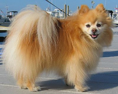 Pomeranian Pictures on Best HD Wallpapers  http://hdw9.com/social-gallery/free-pomeranian-picture-for-pc