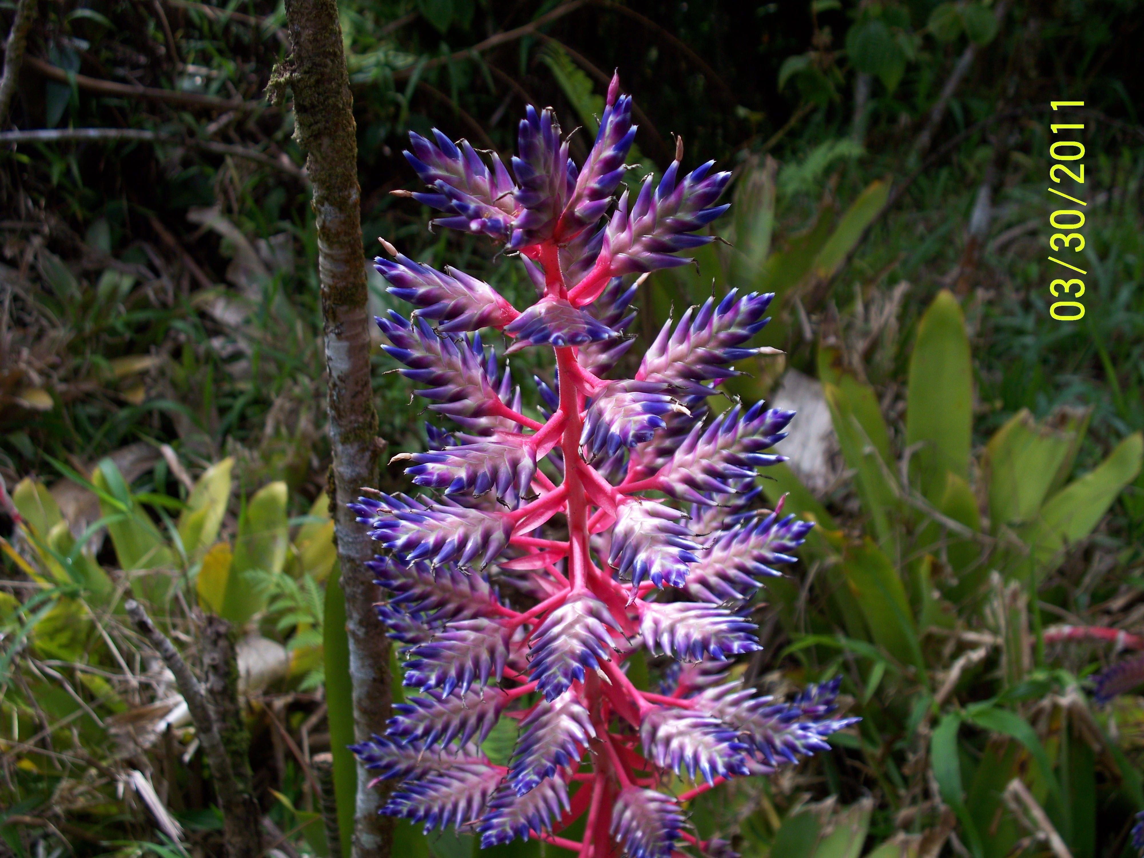 Bromeliad blooming in Hana,Maui