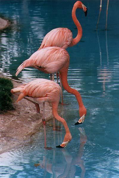 I Adore Flamingos Remind Me Miami The Sun Tropical Weather Flamingo Pictures Flamingo Pet Birds