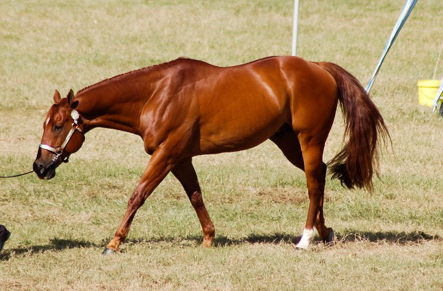 Chestnut Quarter Horse like Cookie (even though Cookie ... - photo#44