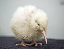 Albinismo (108)Kiwi