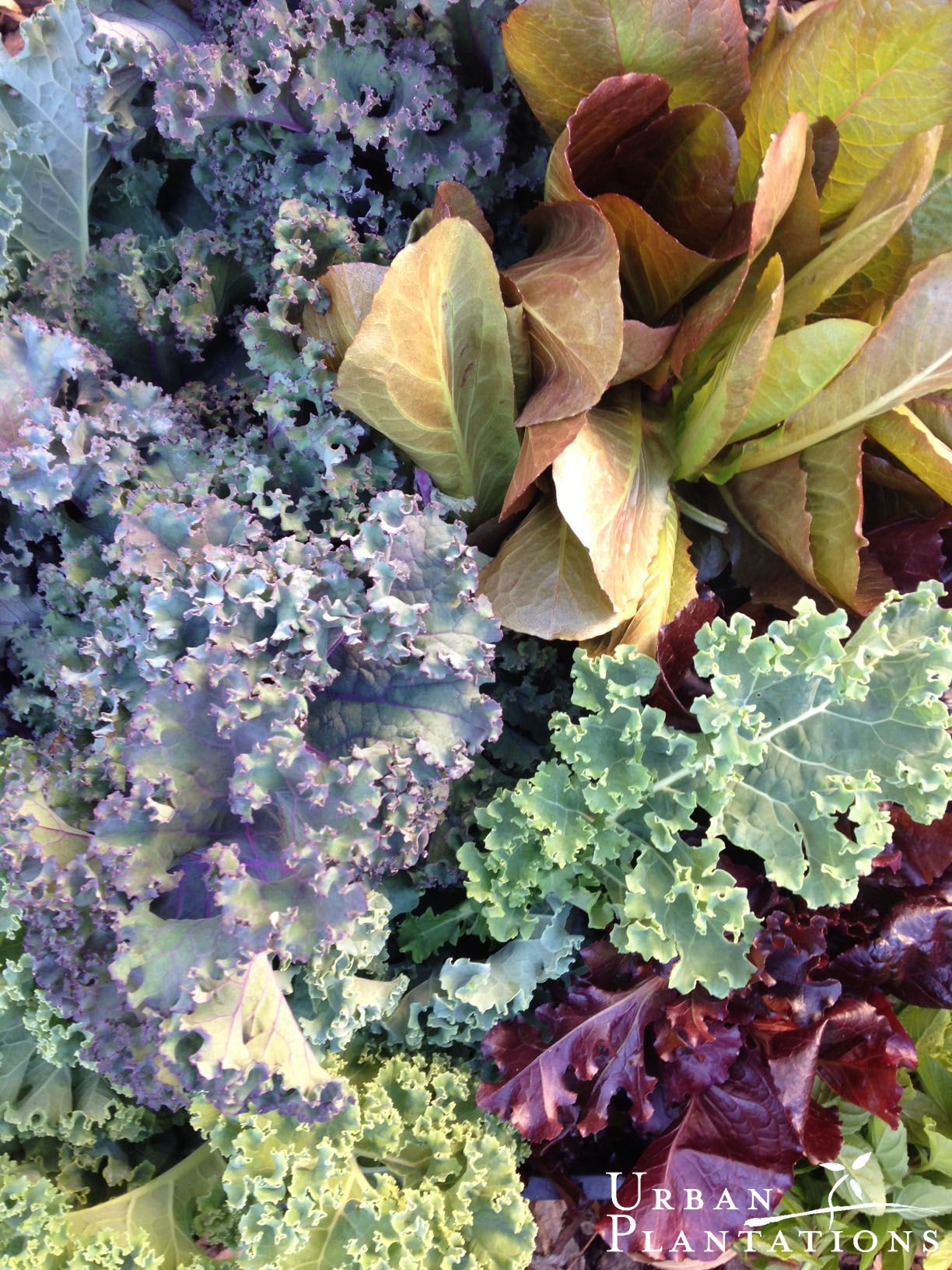Purple kales and red lettuce!