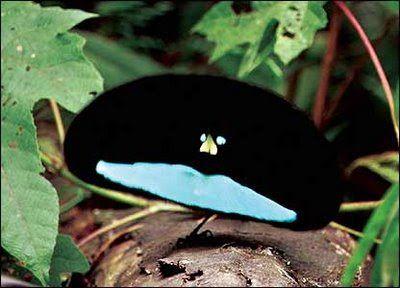 Aves raras e do Paraíso   BIO-IDÉIAS: O melhor da Biologia