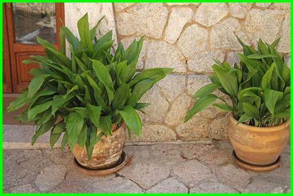 22 Tanaman Hias Yang Hidup Tanpa Sinar Matahari Dunia Fauna Hewan Binatang Tumbuhan Tanaman Bromelia Tanaman Pot