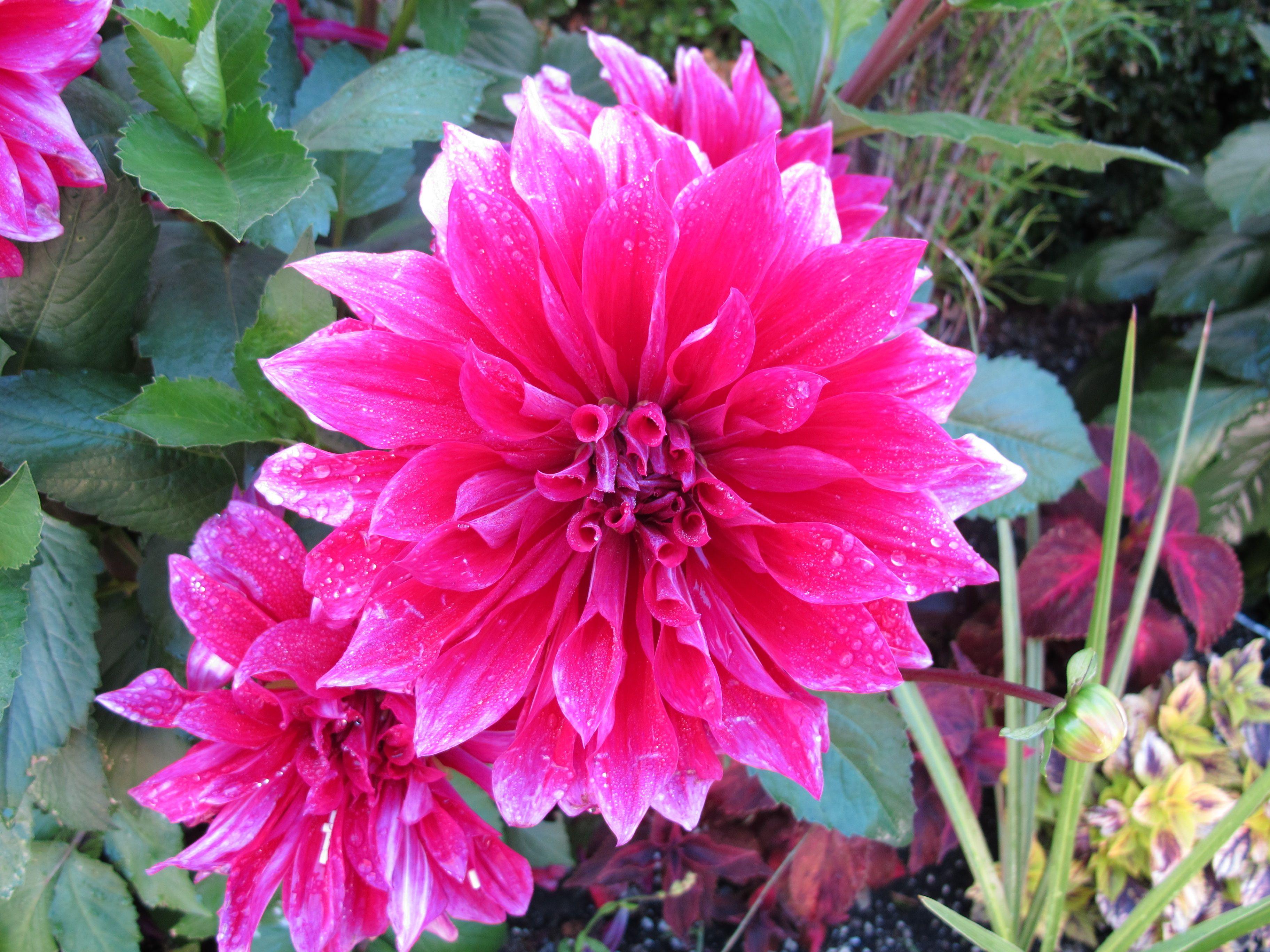 Dahlia atlanta florist flower delivery flowers garden