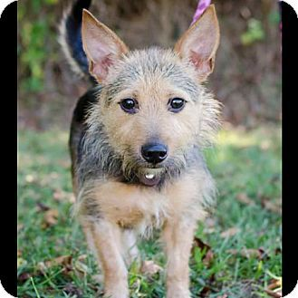 Bristol Tn Norwich Terrier Terrier Unknown Type Small Mix