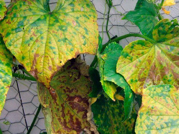 почему желтеют огурцы зародыши в открытом грунте
