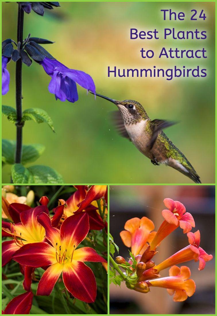 24 Plants To Attract Hummingbirds Plants To Attract Hummingbirds How To Attract Hummingbirds Hummingbird Garden
