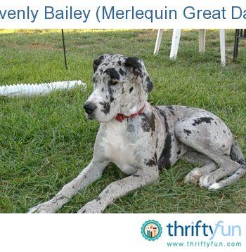 Heavenly Bailey Merlequin Great Dane Great Dane Funny Great