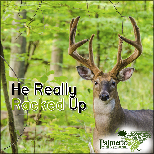 Whitetail deer antlers are one of the fastest growing