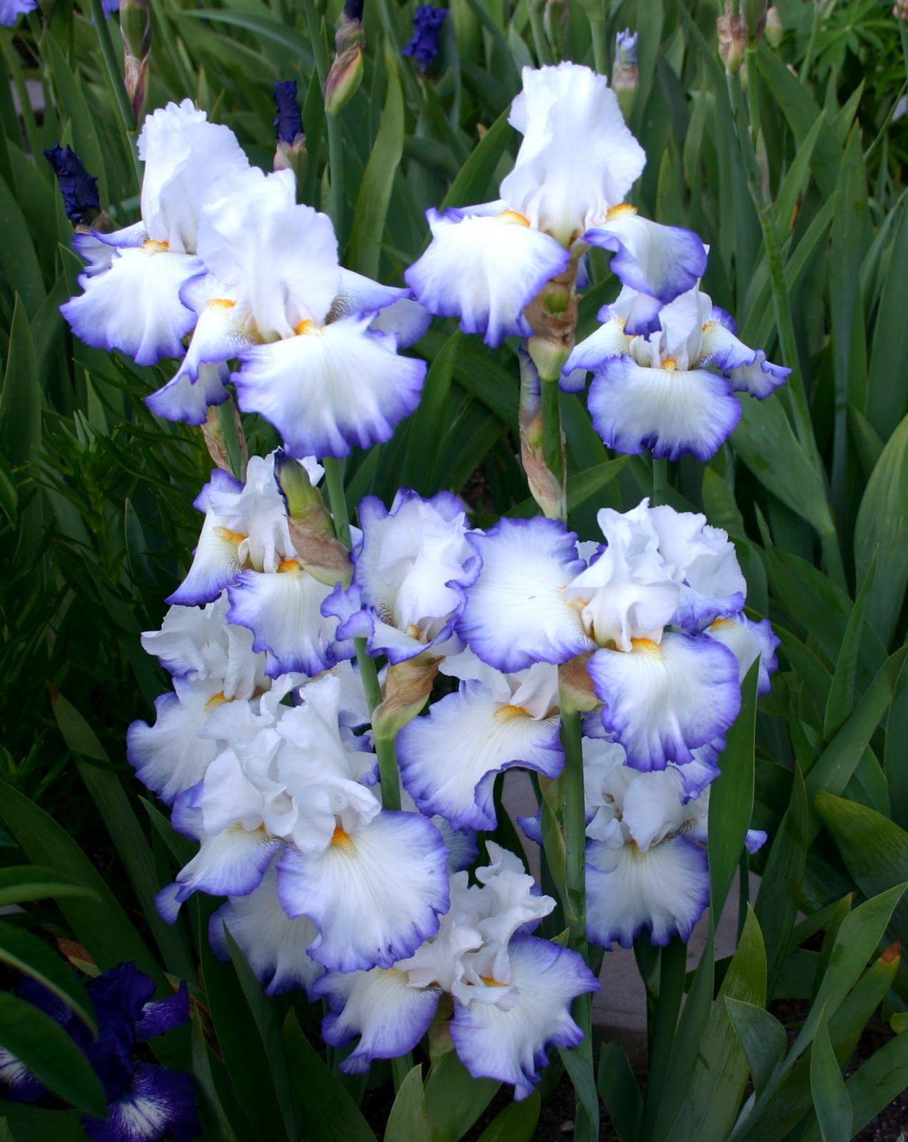 Queens Circle Tall Bearded Iris Flower Power Pinterest Iris