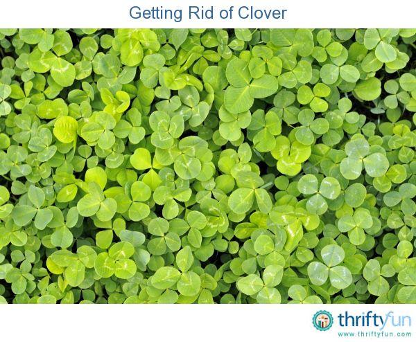 Getting Rid Of Clover Grass Alternative Lawn Alternatives Grasses Garden