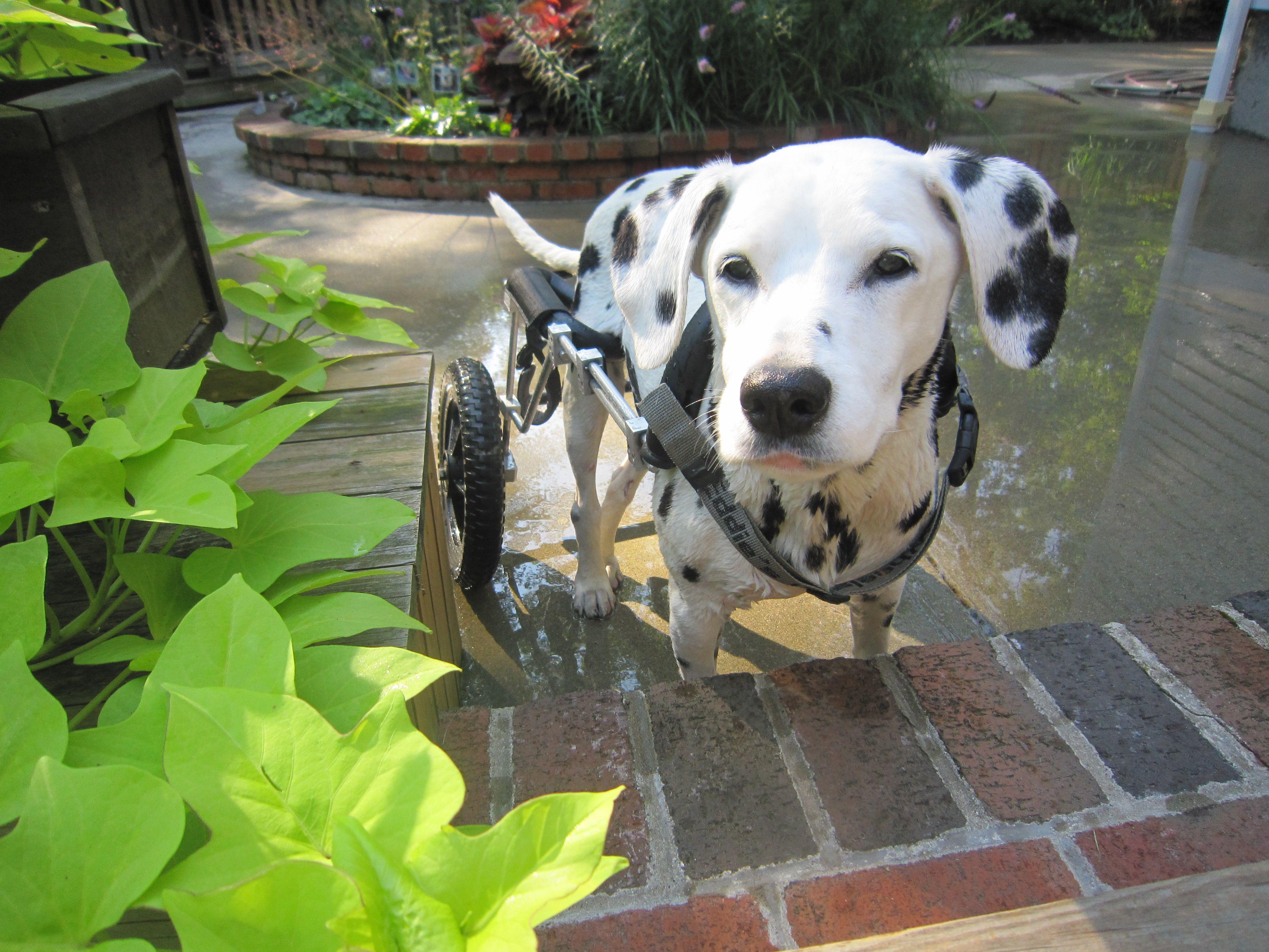 Fabulous Dalmatian In Her Dog Wheelchair From Eddie S Wheels Dog
