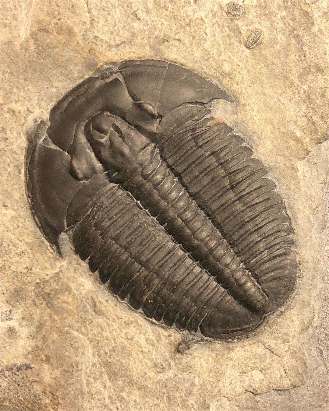 America S Most Common Trilobite This Is A 1 35 Elrathia Kingii From The Wheeler Fm Millard County Fossiles Squelette Paleontologie