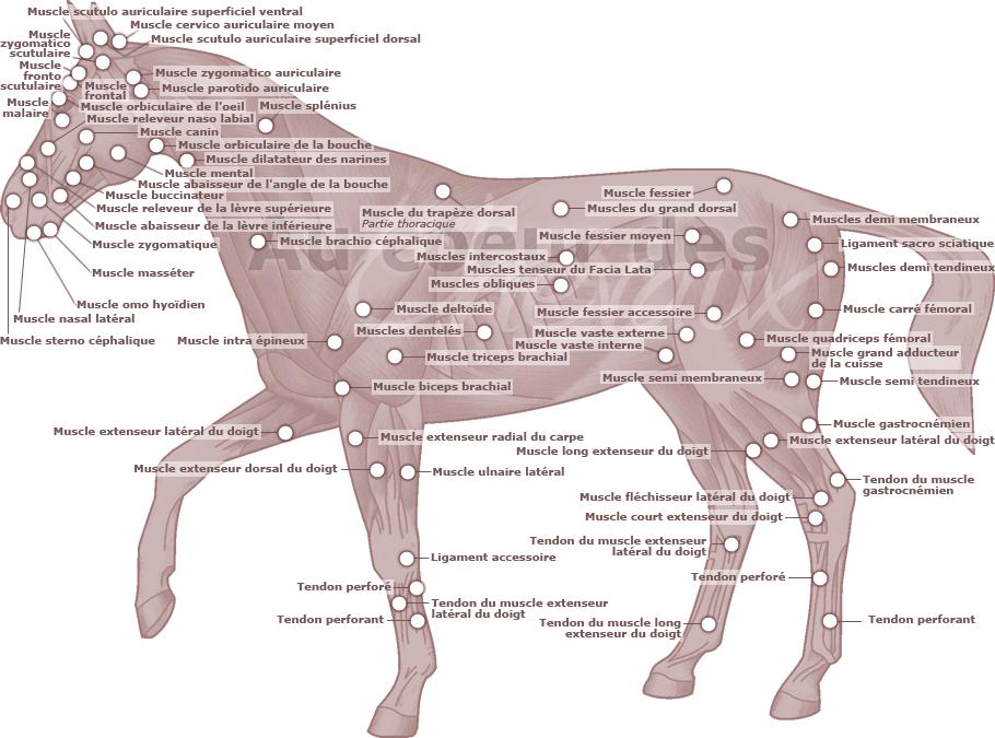 r capitulatif des muscles du cheval le cheval en sch ma pinterest muscles and horse. Black Bedroom Furniture Sets. Home Design Ideas