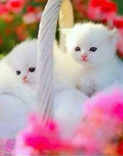 Pin by axtly romo on gatos pinterest cat kittens meowing and cute baby cats baby kittens cats and kittens kitty cats kittens playing kittens meowing fluffy kittens white kittens cat lady thecheapjerseys Images