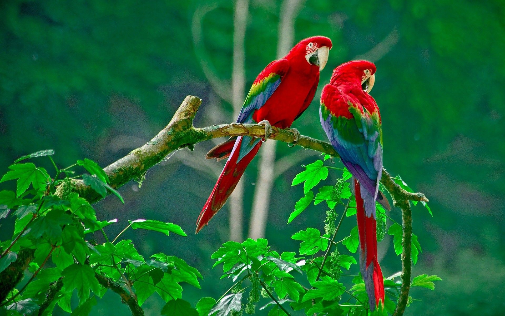 Red Parrot wallpaper high quality | dang | Parrot ...