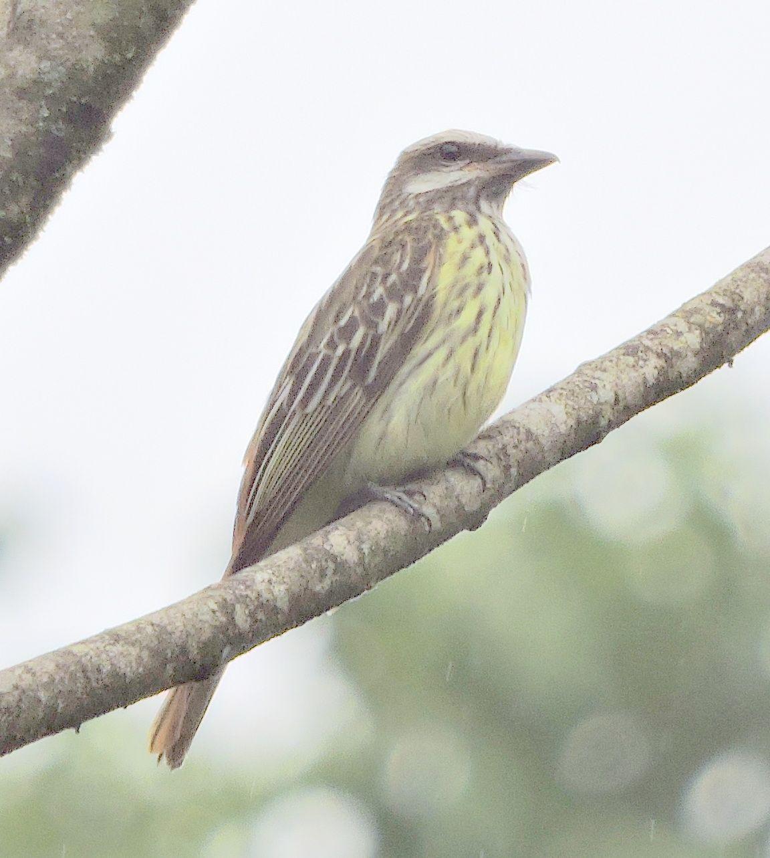 ?sulphur-bellied flycatcher