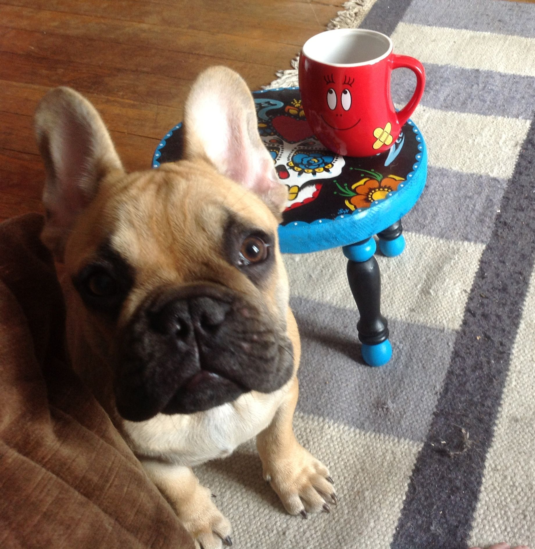 Georges French Bulldog Bully Dog Dog Love Cute Animals