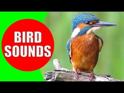 Free Bird Sounds, Songs, and Rhymes for Circle Time   Bird songs