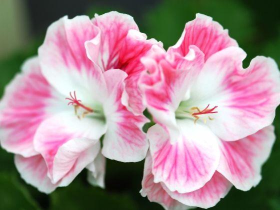 Fleur D Amour Gardens Birdies Pinterest Geraniums And Garden