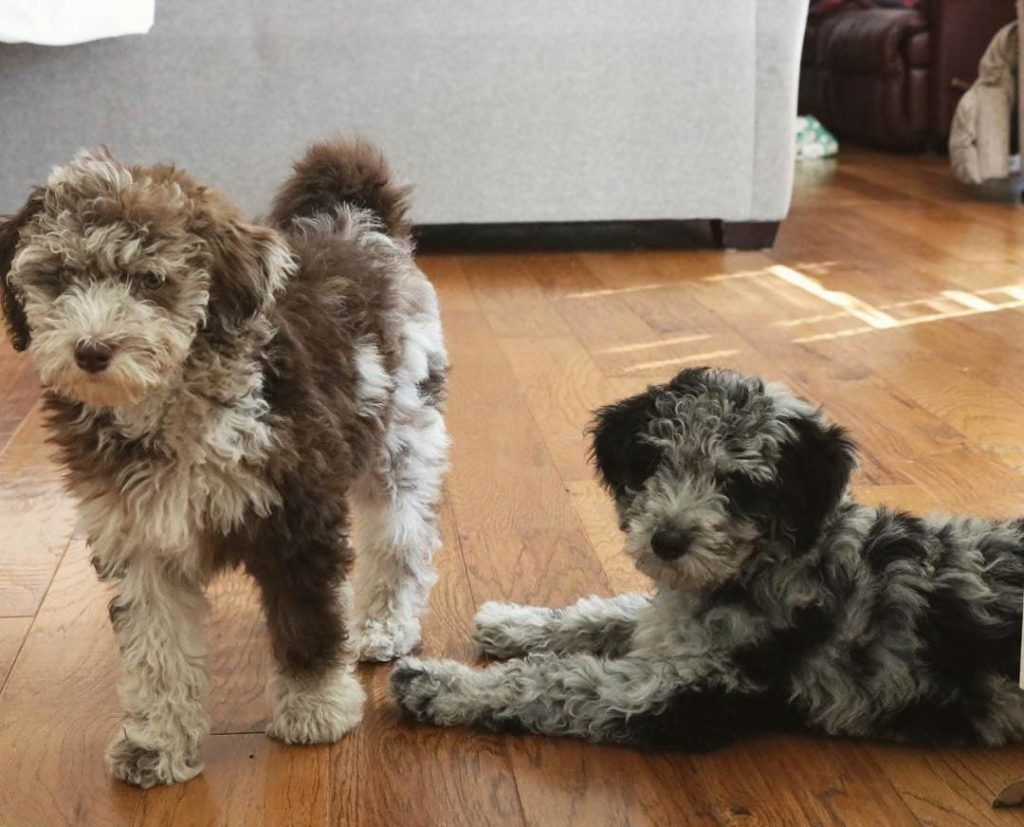 Aussiedoodle puppies crossbreed of the australian