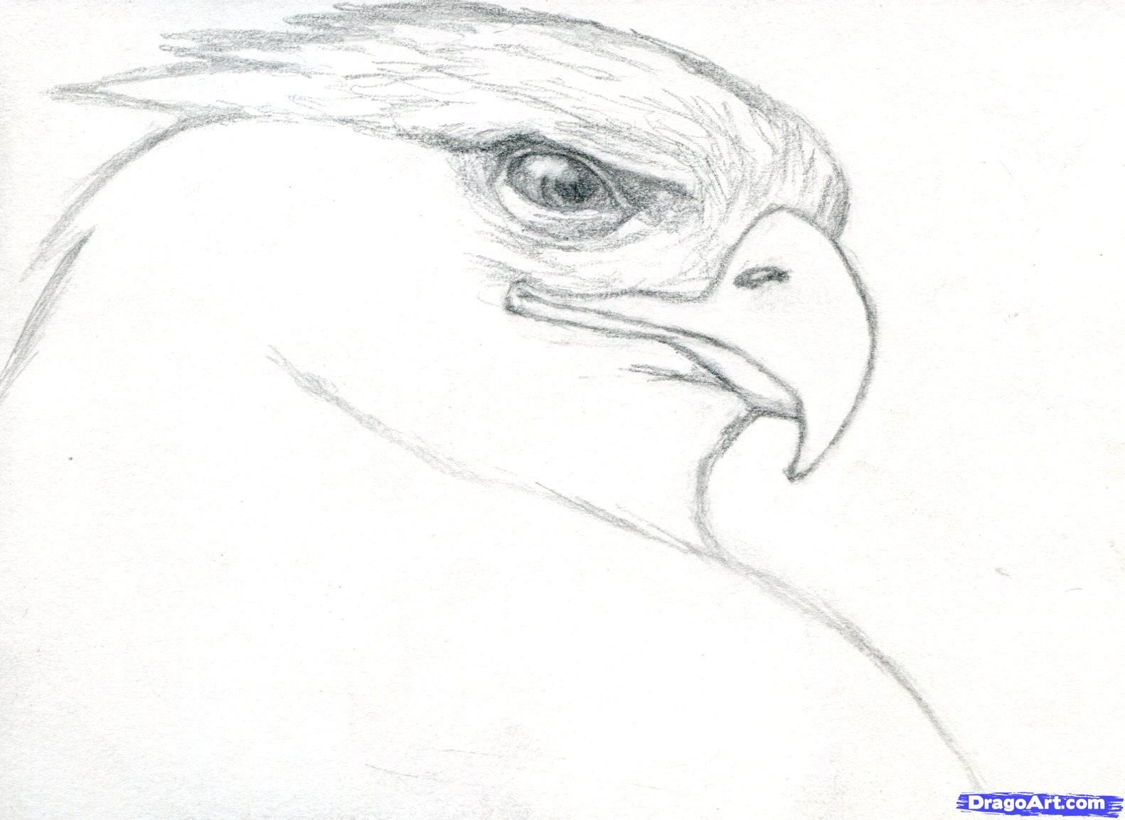 How to draw a realistic eagle golden eagle step 6