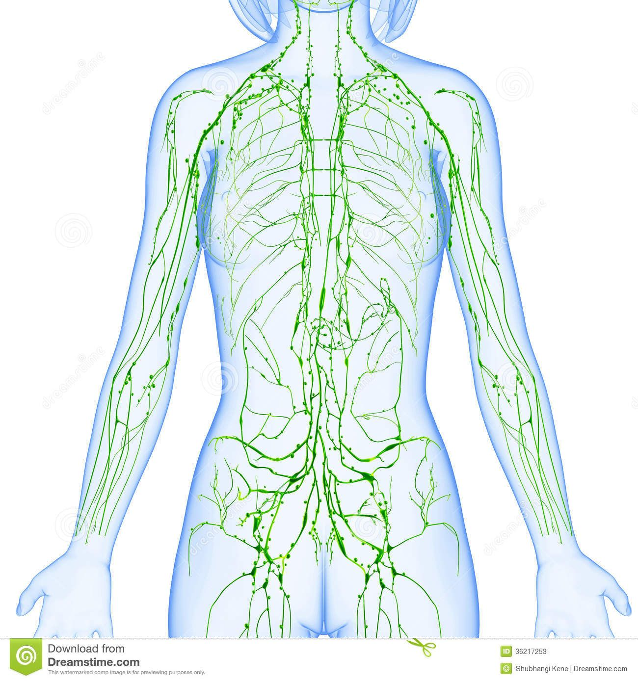 Images Of Lymphatic System