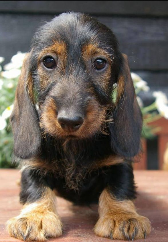 Wire Haired Dachshund Kaufmannspuppy Doxie Love