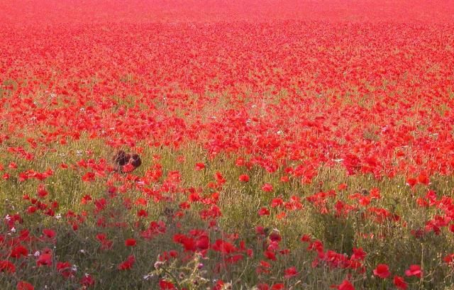 Red Poppy Field Image Flowers Pc Android Iphone And