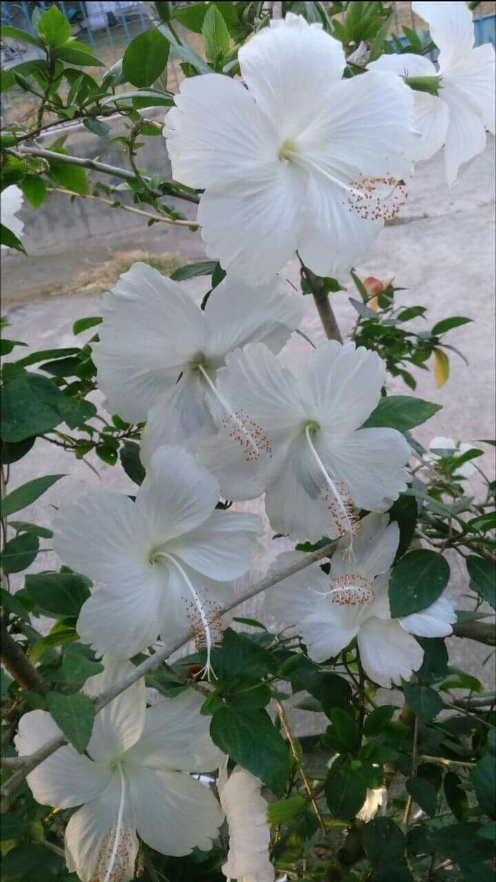 White Hibiscus Hibiscus Tree Flower Aesthetic White Hibiscus