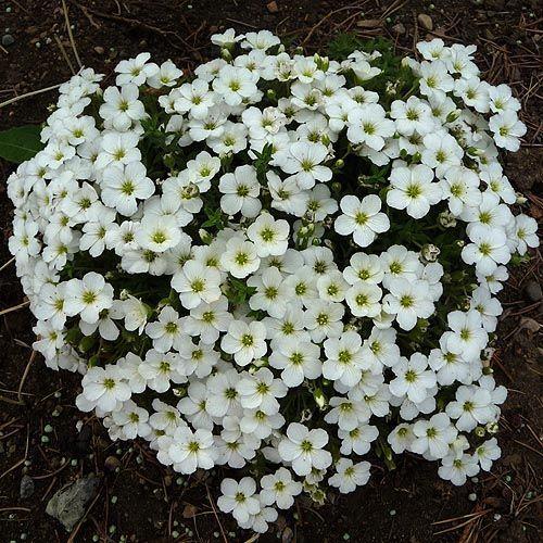 Little White Garden Flower Flower White Flowers Garden Moon
