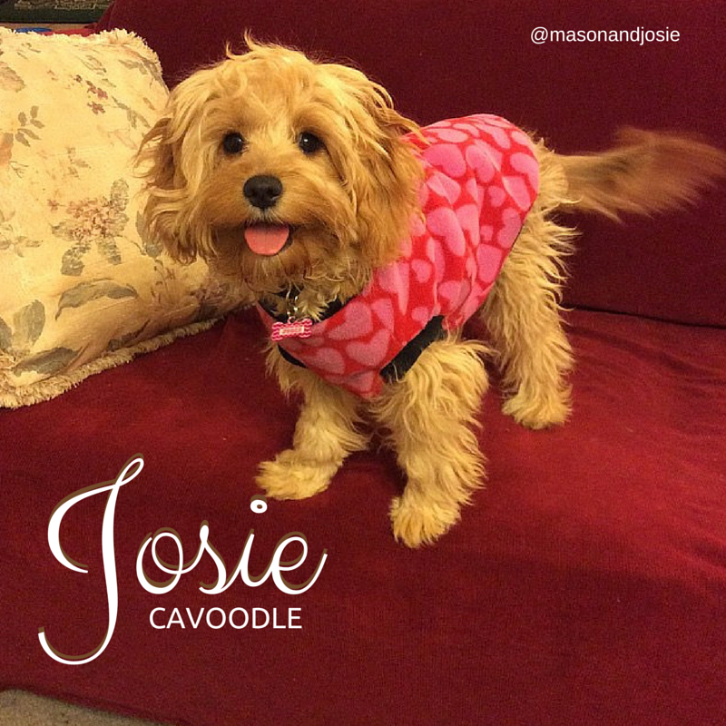 Josie the Cavoodle (With images) Puppies, Cute dogs