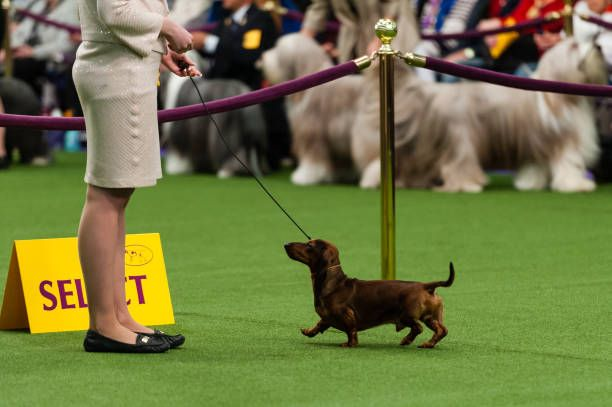 A Chocolate Mini Dachshund Competes During Competition At The