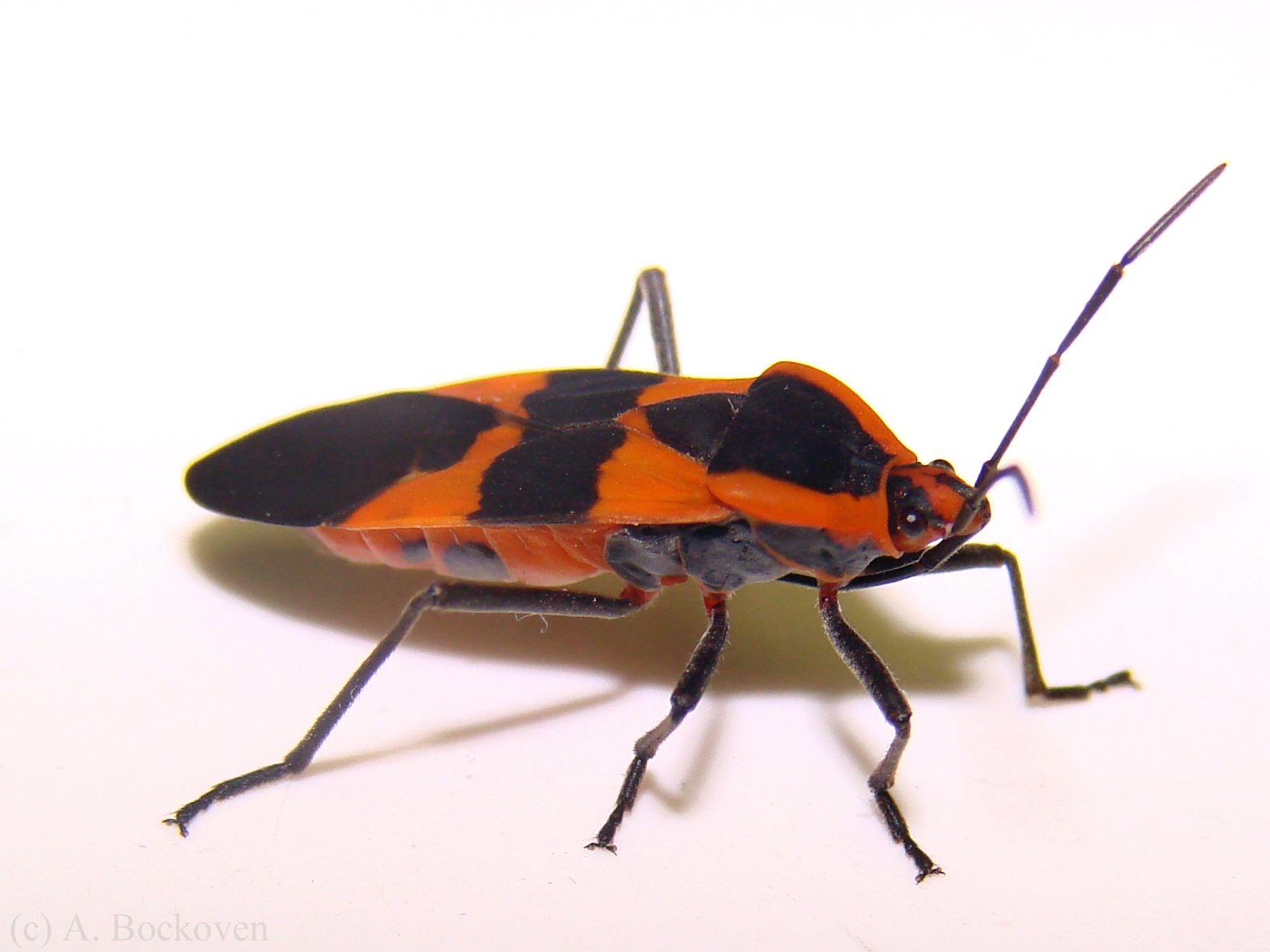 female milkweed bug (Lygaeidae: Oncopeltus fasciatus ...