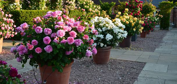 Roses Ideal For Pots U0026 Containers