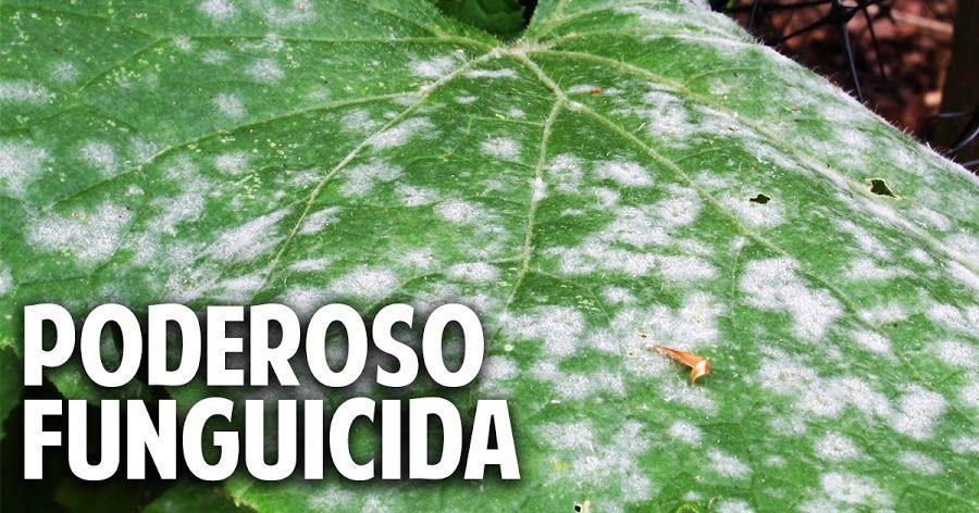 El fungicida casero m s antiguo y efectivo del mundo for Hongos en las plantas de jardin