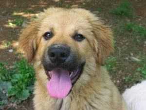 Adopt Jacobadopted On Great Pyrenees Dog Dogs Cute Little Things
