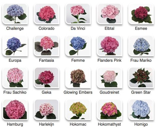 Hydrangeas By Hyperactive Farms Flower Bouquet Boxes Hydrangea Colors Types Of Hydrangeas